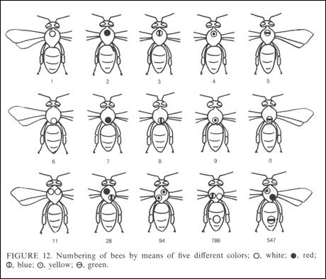Numbering System: A numbering system based on colored dots painted on the bee's thorax and abdomen, allowed von Frisch to distinguish and track hundreds of bees. Source: Karl von Frisch, The Dance Language and Orientation of Bees, Harvard University Press, 1993, p. 15.