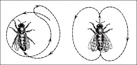 Left: The round dance alerts hive mates to nearby foods. Right: The tail-waggle dance indicates the distance and direction of more distant food sources. Source: Karl von Frisch, Erinnerungen eines Biologen, Berlin, Göttingen, Heidelberg: Springer, 1957, p. 128.
