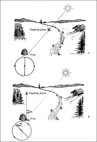 These images show how the forager bee signals the direction of food sources to her hive mates when the food is in a direct line with the sun (top) and when it is at a 40° angle from the sun. Source: Karl von Frisch, Erinnerungen eines Biologen, Berlin, Göttingen, Heidelberg: Springer, 1957, p. 129.
