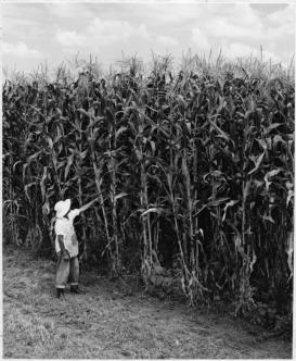 "A yield test for hybrid maize in Mexico, 1962. (Rockefeller Foundation, ""Yield of hybrid combinations,"" 100 Years: The Rockefeller Foundation)"