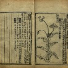 Jiuhuang bencao, 1406 (reprint 1555). Library of Congress, Washington DC.